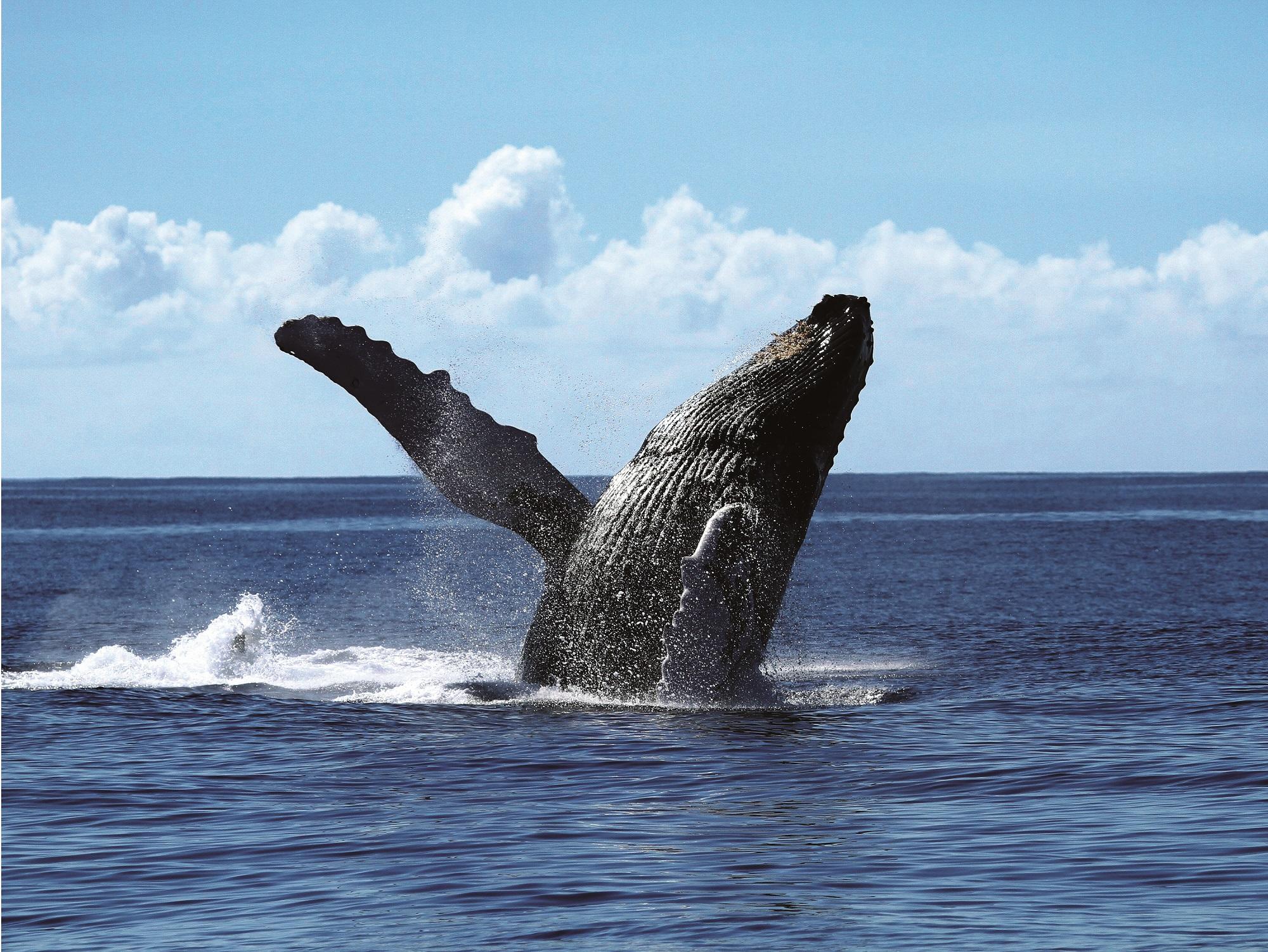 ビットコイン3万5千ドル到達、過去最高水準の大口投資家(クジラ)数は「強気継続」を示唆